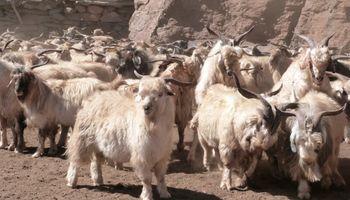 ¡Ahora si! una app que escanea ovinos