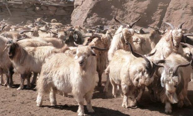 Una app evalúa las características genéticas de los ovinos.