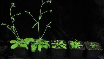 Científicos argentinos descubrieron un dato clave sobre la altura de los cultivos