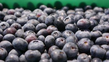 Productores de arándanos apuestan a la erradicación de mosca de los frutos