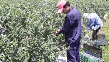 Condenan por primera vez un caso de trabajo infantil en una plantación de arándanos