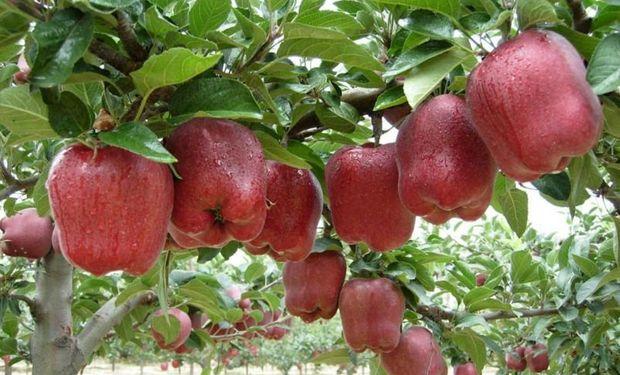 En el Sur, miles de árboles todavía están repletos de manzanas y peras que deberían haber sido cosechadas.