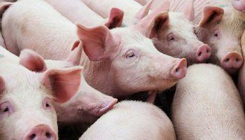 Lanzamiento oficial: llega la primera plataforma digital de negociación de ganado porcino