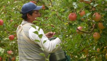 Extienden los beneficios del Programa de Asistencia a la cadena de producción de peras y manzanas