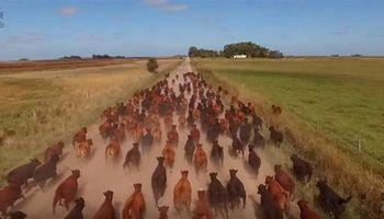 Arreando vacas desde un drone: mirá el video!