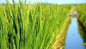 Advierten una crisis sostenida para el arroz y el sector bovino entró en alerta
