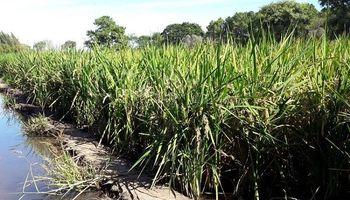 El arroz, con mejores rindes y buena rentabilidad en Santa Fe