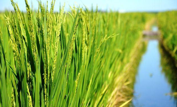 Se estima que la cosecha de arroz dejaría unas 1,2 millones de toneladas.