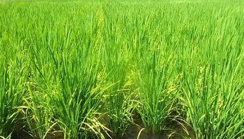 Entre Ríos: producto de las lluvias cae la condición del arroz