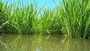 Santa Fe: finalizó la campaña de arroz, sin buenos resultados