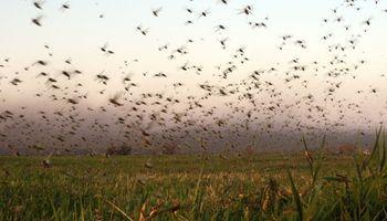 Alerta por el peor ataque de langostas de los últimos 50 años