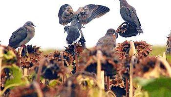 Chaco: grave ataque de palomas a girasol