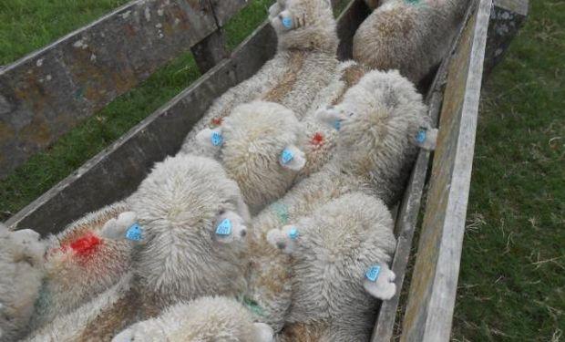Los corderos del compartimento ovino uruguayo tienen trazabilidad electrónica. Foto: Jorge Bonino