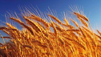 Trigo: fertilización complementaria mejora el rinde