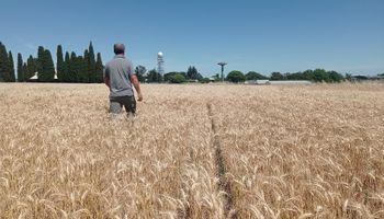 N_INTA, el algoritmo que ayuda a calcular la dosis óptima de nitrógeno en trigo