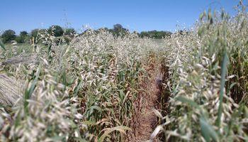 Recomendaciones para la siembra de avena: qué tener en cuenta