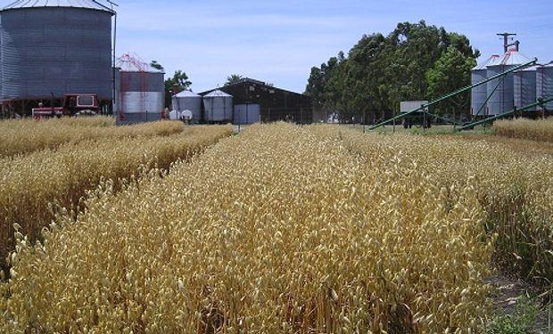 Por su alta relación carbono nitrógeno, es ideal para la rotación de cultivos.