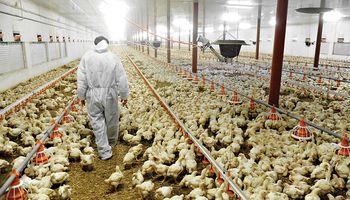 Desmienten la utilización de hormonas en la alimentación de los pollos