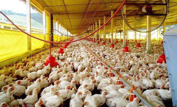 """Maíz: """"Hay potencial para abastecer la avicultura"""""""