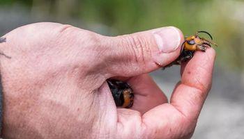 Alerta por un avispón asesino que amenaza a la apicultura