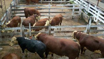 Liniers: novillos livianos sufrieron quebrantos, mientras que toros y vacas mantienen buena salida