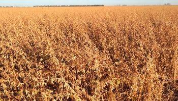 El lado B de la cosecha récord: alarma en la cadena por la baja proteína de la soja