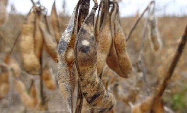 Problemas comerciales por la baja proteína en soja