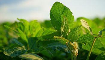 Entre Ríos: el 53% de la soja de primera se encuentra estado muy bueno