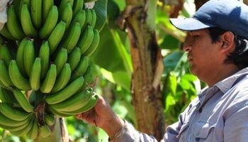 Fuerte reclamo: la importación de bananas y yerba mate impacta sobre las producciones locales
