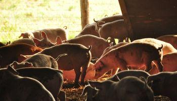 Evalúan el bienestar animal en porcinos