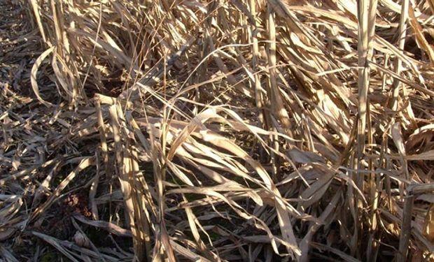 Buscan producir bioetanol a partir de residuos de maíz y sorgo