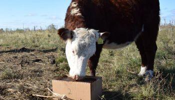 Bloques multinutricionales: destacan el efecto sobre la producción de bovinos en épocas de sequía