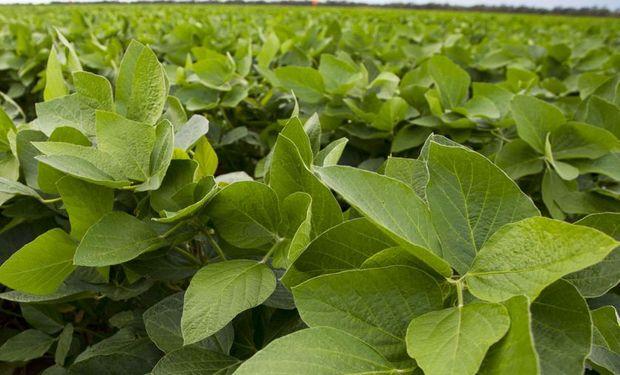 Este nutriente mantiene la actividad de nuevos tejidos y brotes, favoreciendo la producción de granos.
