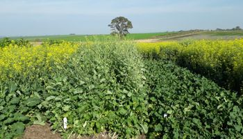 Presentan a la carinata como un cultivo alternativo para el periodo invernal: qué beneficios tiene