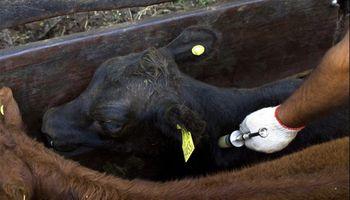 ¿Por qué se debe vacunar contra el carbunclo en La Pampa?
