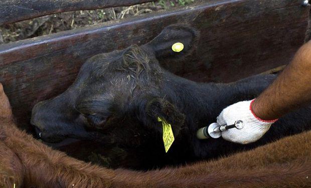 Simultáneamente se inoculará a las terneras de entre tres y ocho meses de edad contra la brucelosis.