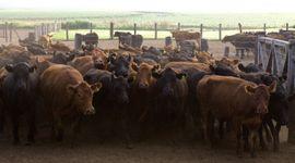 Brucelosis bovina: introducen cambios en el Plan Nacional de Erradicación para facilitar el cumplimiento de productores