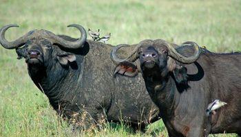 Proponen la cría de búfalo para mayor competitividad