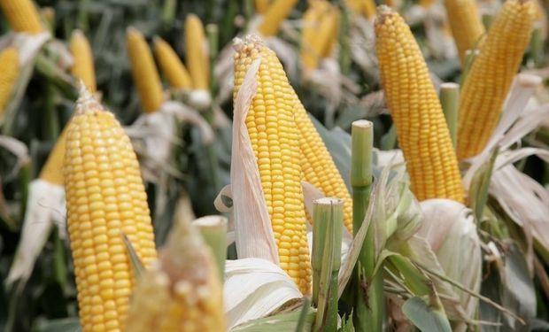 Hoy el maíz representa el 30% del PBI de las cuatro principales cadenas agroindustriales de la Argentina.