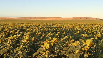 Girasol: con menores rindes, terminó la cosecha en el Norte
