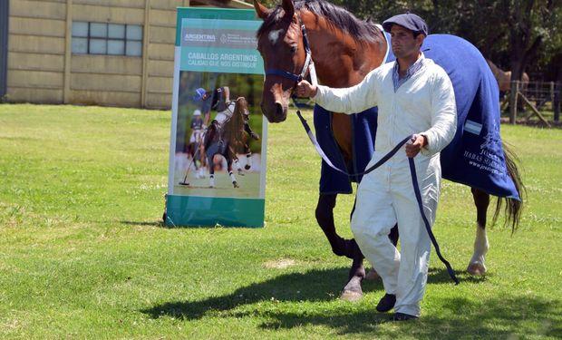 Argentina es reconocido mundialmente como productor de equinos de excelencia