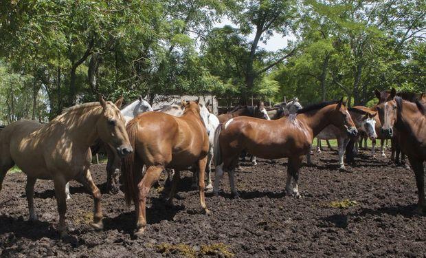 Se recomienda a los propietarios de equinos consultar con su veterinario de confianza.