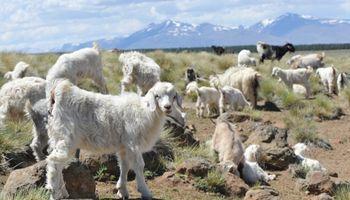 Cabras criollas neuquinas contra el cambio climático