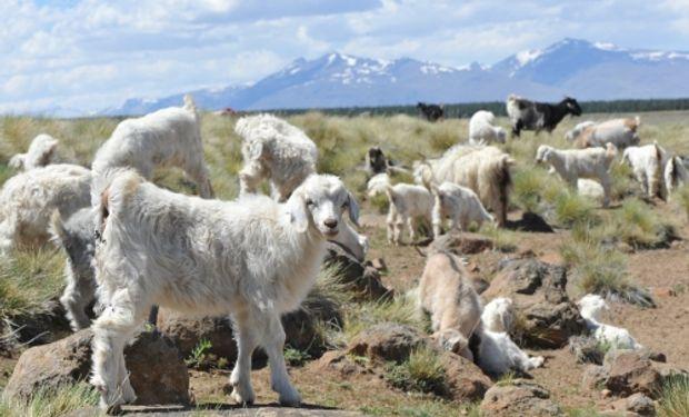 La cabra criolla del norte neuquino aparece como alternativa para el repoblamiento.