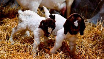 No te pierdas los cabritos mellizos que nacieron en La Rural
