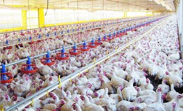 La cadena del pollo suma conocimiento