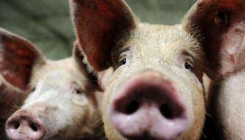 Carne porcina: registro especial para la producción y comercialización