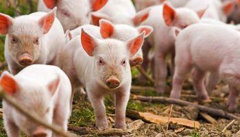 En cinco años, la cadena porcina creó 12.500 nuevos empleos
