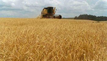 Desalentador panorama para los rindes de trigo en Santa Fe