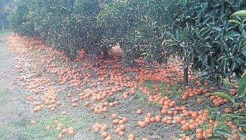 Un citricultor cuenta por qué tiró 220.000 kilos de fruta